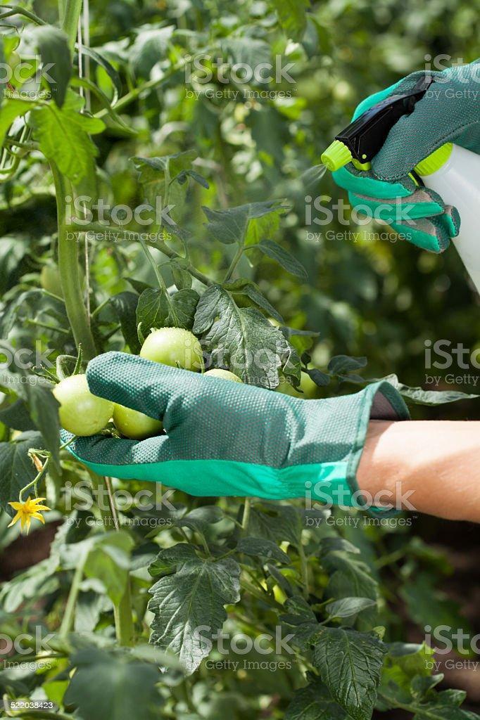 Garden worker spraying tomatoes stock photo