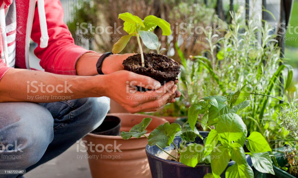 Gardener Activity On The Sunny Balcony Repotting The Plants Geranium Pelargonium Pepper Plants Squash Seedlings And Young Cucumber Plants Stock Photo Download Image Now Istock