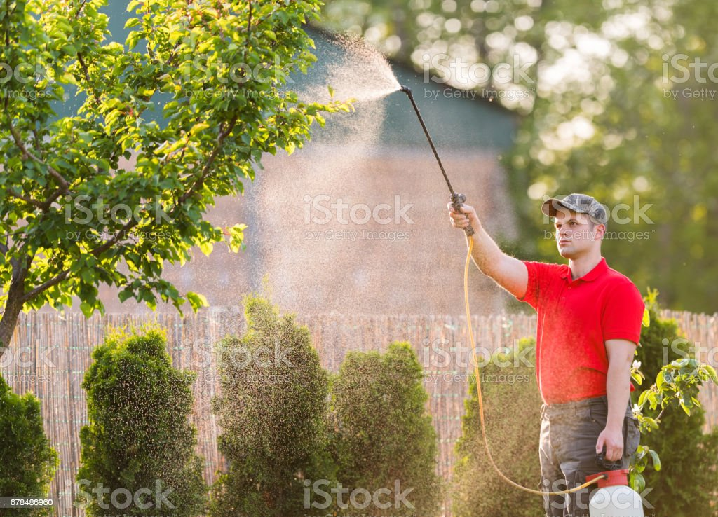 Gardener applying an insecticide fertilizer to his fruit shrubs, using a sprayer stock photo