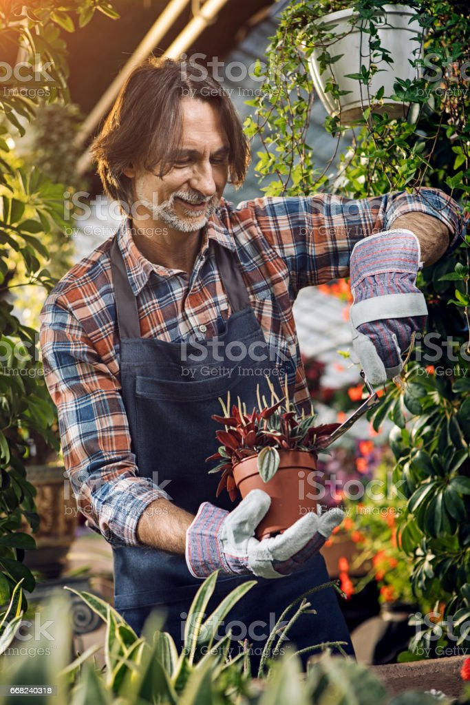 Gardener cares for the plants in the greenhouse foto stock royalty-free