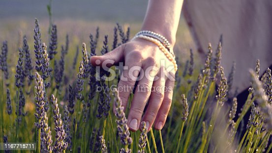 Lavender field, woman overseeing blooming plants. Touching flowers