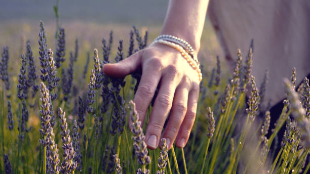 Gardener caring for blooming lavender. Soft touch stock photo