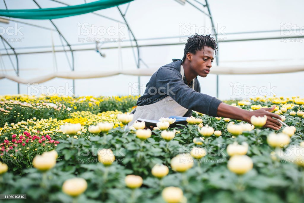 Gardener Checking Quality Of Flowers In Greenhouse Stock ... on indoor plants, watering plants, farm plants, pruning plants, how grow zinnia plants, pepper plants, sci-fi plants, fertilizing plants, bayou plants, landscaping plants, tomatoes plants, annuals plants, cartoon fern plants, history plants, nursery plants, green plants, water plants, potted plants, tropical plants, horticulture plants,
