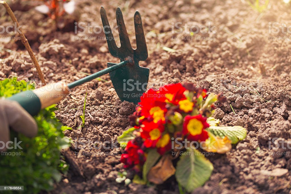 Gardener cultivating flowers in the garden stock photo