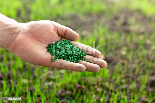 Hand holding green grass seeds with new grass sprouts in the background yard.