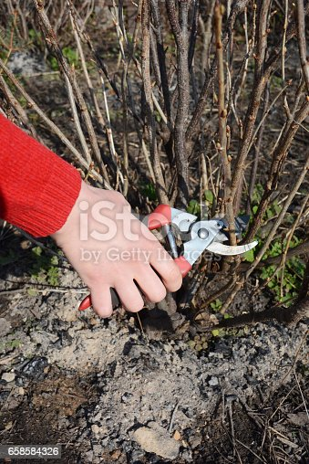 istock Gardener hand cutting blackcurrant  plant bush with bypass secateurs.  Blackcurrant bush pruning  with bypass secateurs. 658584326