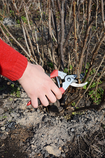 istock Gardener hand cutting blackcurrant  plant bush with bypass secateurs.  Blackcurrant bush pruning  with bypass secateurs. 658584326