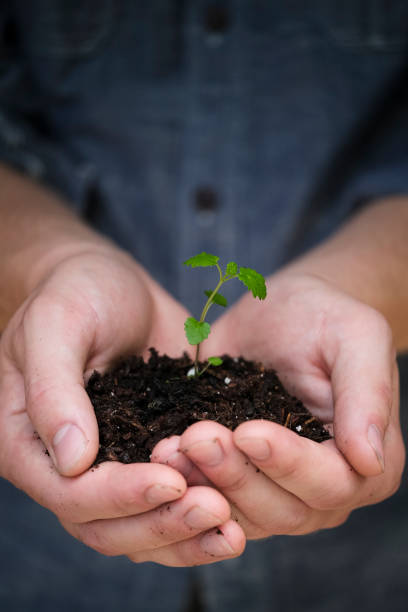 Gardener Holding a Lemon Balm Seedling in Hands stock photo