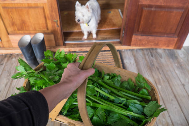 Gardener holding harvest basket of celery outside house deck with dog watching stock photo