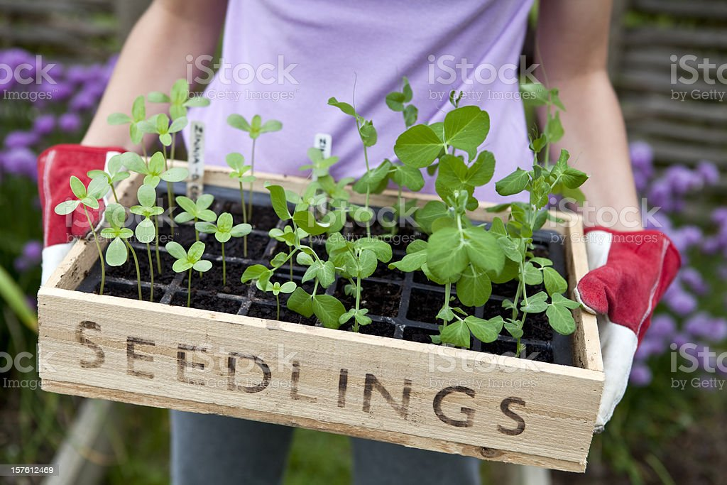 Gardener Holding Wooden Seedling Tray royalty-free stock photo