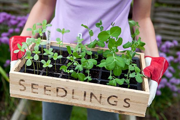 gardener holding wooden seedling tray - pea sprouts bildbanksfoton och bilder