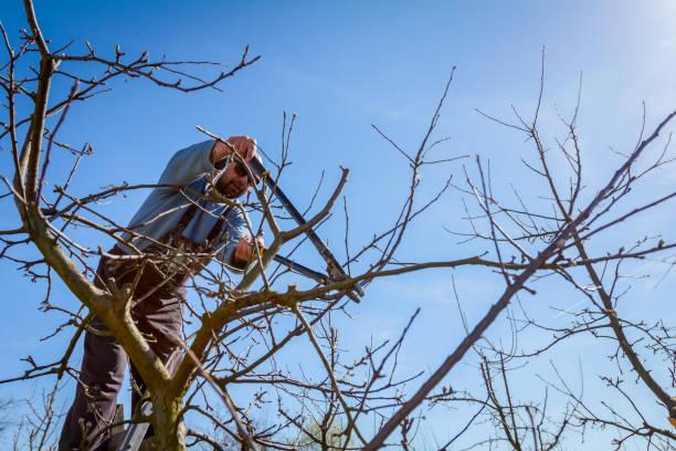 gärtner ist schneiden von ästen, beschneiden von obstbäumen mit gartenscheren im obstgarten - faul ast stock-fotos und bilder