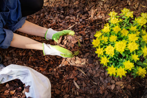 gardener mulching flower bed with pine tree bark mulch stock photo