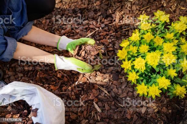 Photo of gardener mulching flower bed with pine tree bark mulch