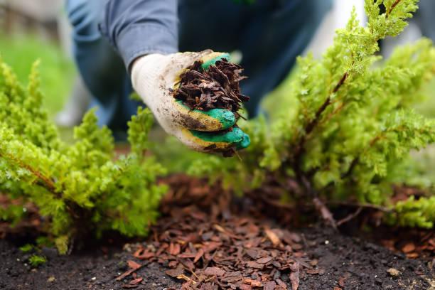 마당에 소나무 껍질 주니퍼 식물로 정원사 뿌리 덮개. 정원에서 제철 작품이 들어오세요. 조경 디자인. - 관상용 식물 뉴스 사진 이미지