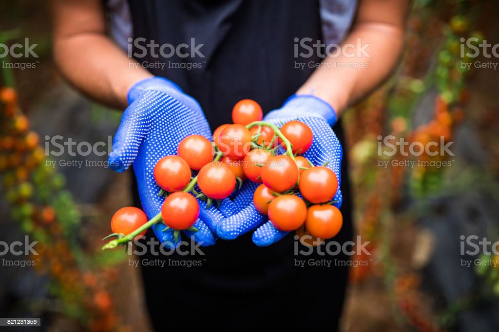 Gardener picking up fresh ripe red cherry tomatoes in garden with white gloves in harvesting period stock photo