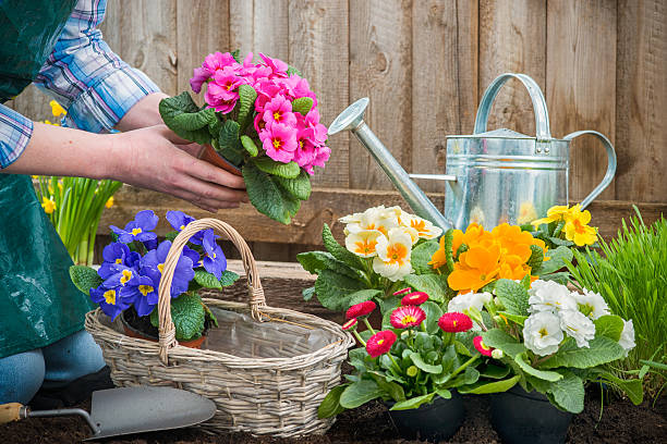Gardener planting flowers Gardeners hands planting flowers in pot with dirt or soil at back yard primula stock pictures, royalty-free photos & images