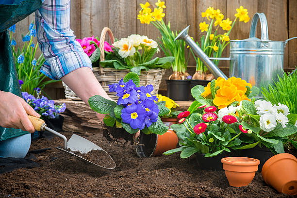Gardener planting flowers Gardeners hands planting flowers in pot with dirt or soil at back yard potting stock pictures, royalty-free photos & images