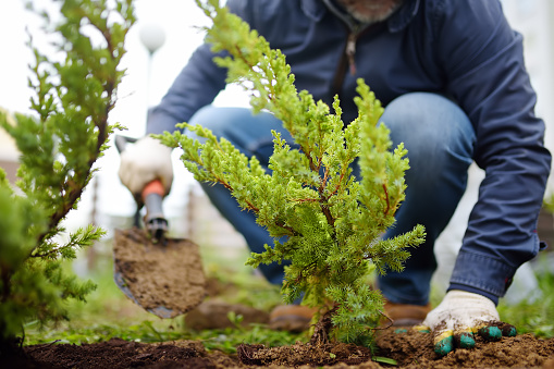 Gardener planting juniper plants in the yard. Seasonal works in the garden. Landscape design. landscaping. Ornamental shrub juniper.