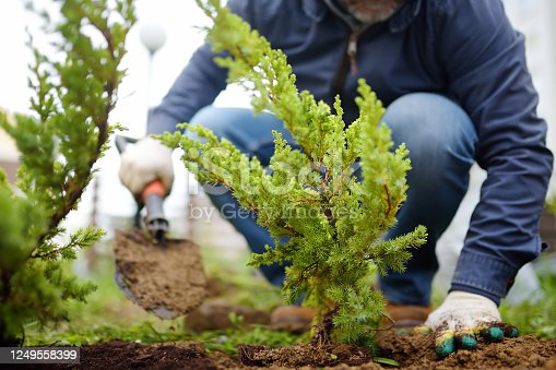 istock Gardener planting juniper plants in the yard. Seasonal works in the garden. Landscape design. Landscaping. 1249558399
