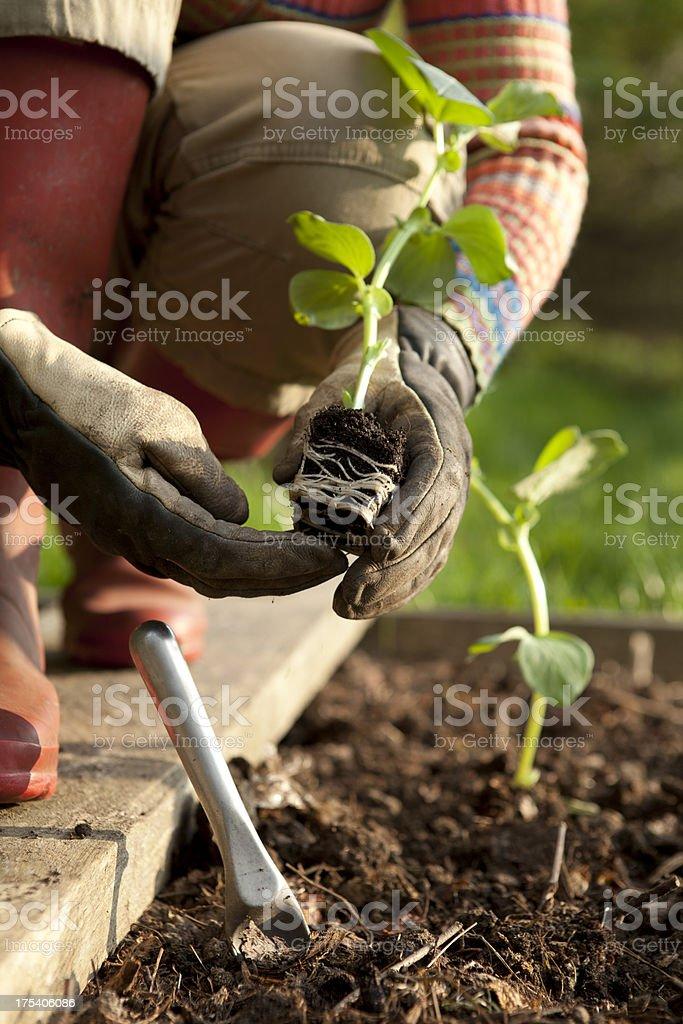 Gardener Planting on Bean Plants royalty-free stock photo