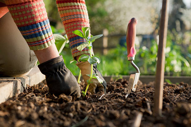 Gardener Planting On Broad Bean Plants Woman gardener firming in a broad bean plant in a raised bed on an allotment. community garden stock pictures, royalty-free photos & images