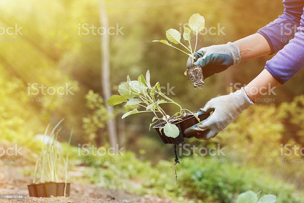 Gardener planting, plowing the broccoli seedlings in stock photo