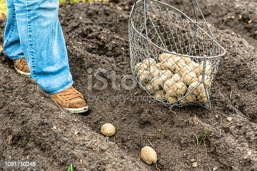 Gardener planting potato seeds into the ground, organic farming in bio garden, seasonal work on field