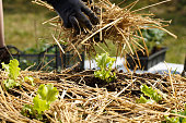 Gardener planting seedlings in freshly ploughed garden beds and spreading straw mulch. Organic gardening, healthy food, nutrition and diet, self-supply and housework concept.