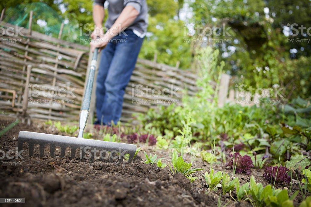 Gardener Preparing Raised Beds with Rake in Vegetable Garden stock photo