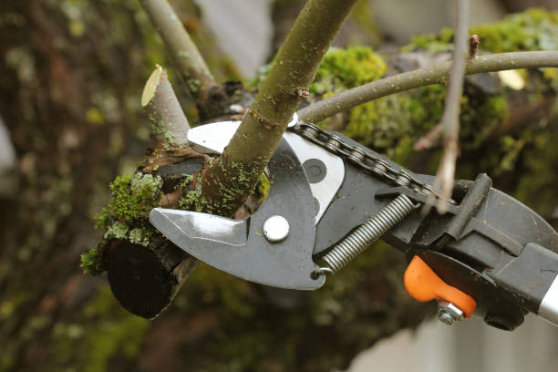 gardener pruning old tree with pruning shears stock photo