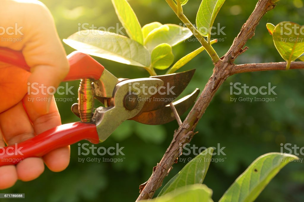 園丁修剪樹木與修枝剪上自然背景。 - 免版稅人圖庫照片