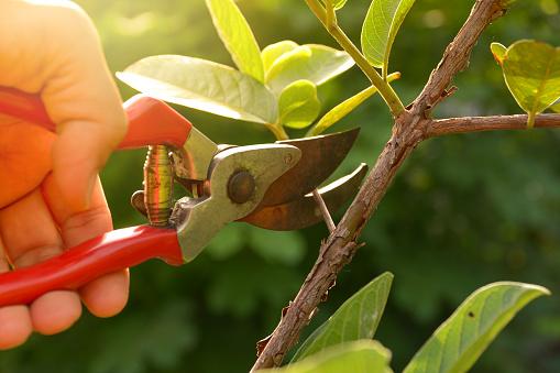 園丁修剪樹木與修枝剪上自然背景 照片檔及更多 人 照片