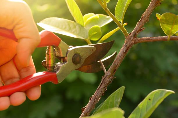 tuinman snoeien bomen met een snoeischaar op natuur achtergrond. - fruitboom stockfoto's en -beelden