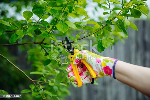 istock Gardener pruning trees with yellow secateur in the spring garden. 1250224402