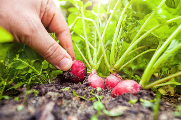 Gärtner zieht Radieschen aus dem Boden. – Foto