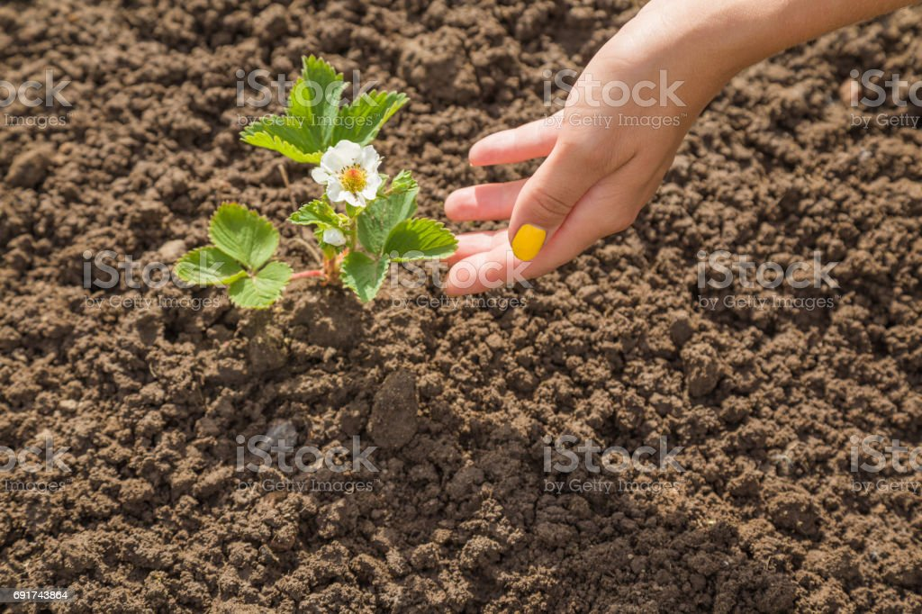Gardener\' s hand checking a beautiful strawberry plant with flower in...