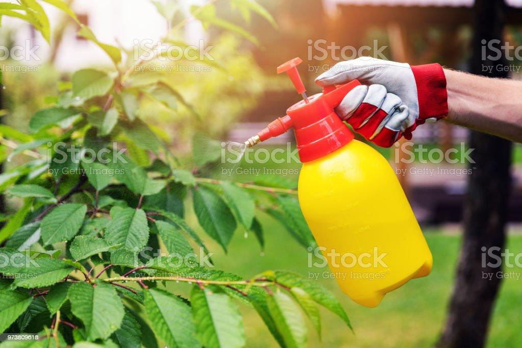 Gärtner Spritzen Kirschbaum gegen Schädlinge und Krankheiten – Foto