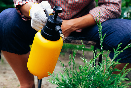 Gardener spraying thuja tree using garden spray bottle. Pest protection and conifer tree care