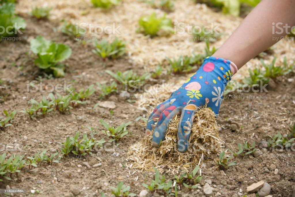 Gardener spreading a straw mulch around plants - foto stock