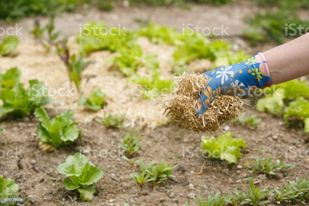 Gardener spreading a straw mulch around plants - foto stock
