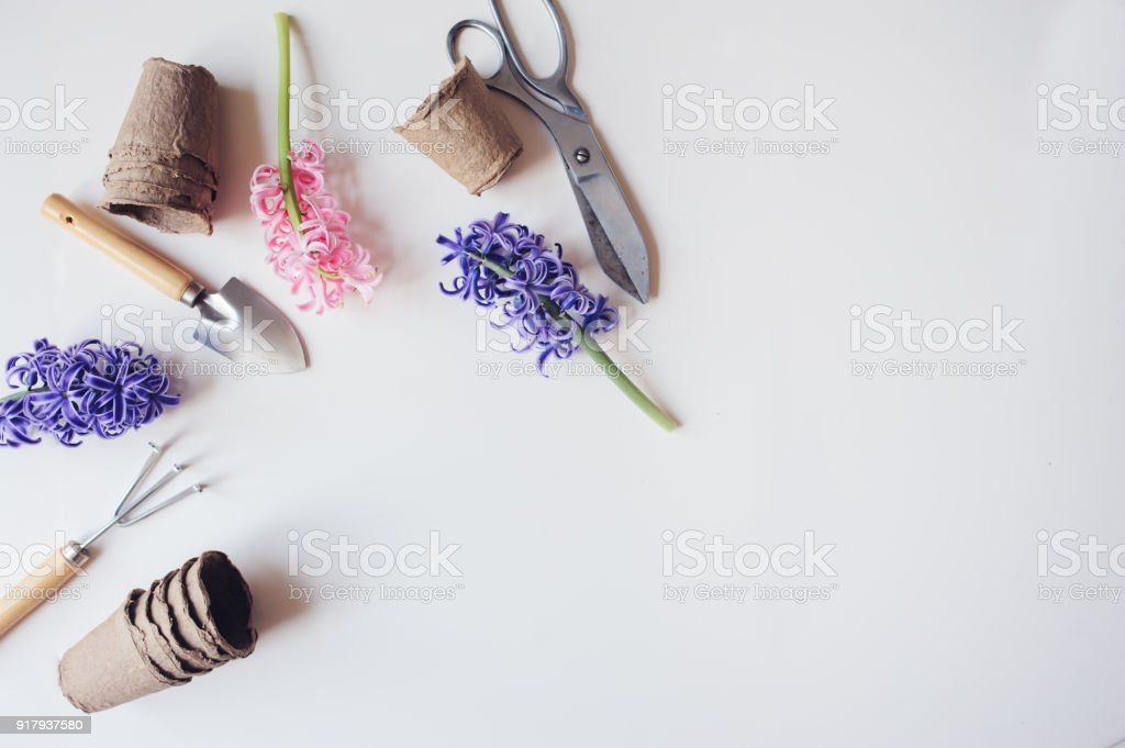 gardener spring table top view with hyacinth flowers, peat pots and garden tools on white background with empty space. Preparing for seasonal yard work stock photo