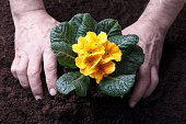 Hands of male gardener transplanting yellow primula spring flower, close up