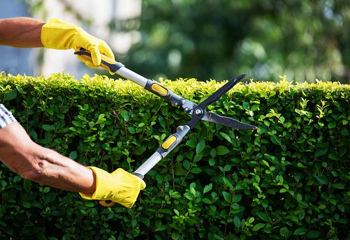 Close up of unrecognizable gardener hands Trimming Hedge In Garden