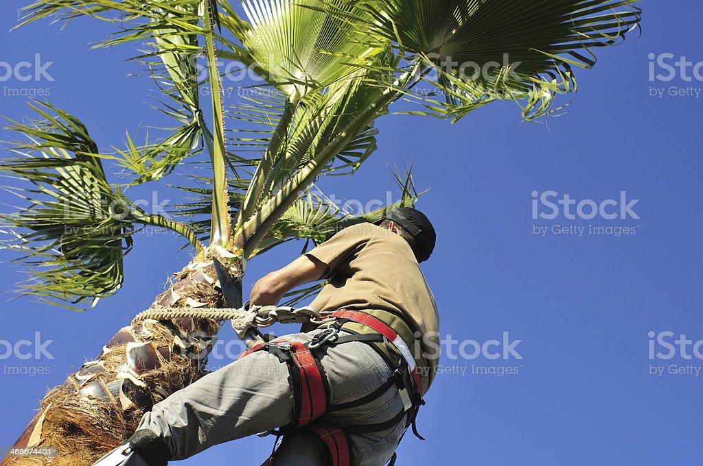 Gardener Trimming Palm Tree stock photo
