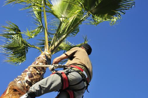 Ogrodnik Przycinanie Palm Tree - zdjęcia stockowe i więcej obrazów Bezpieczeństwo