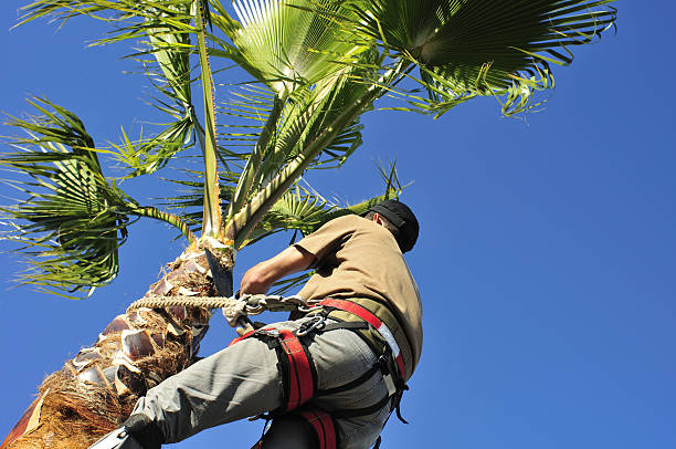 gardener trimming palm tree - tree surgeon stock photos and pictures