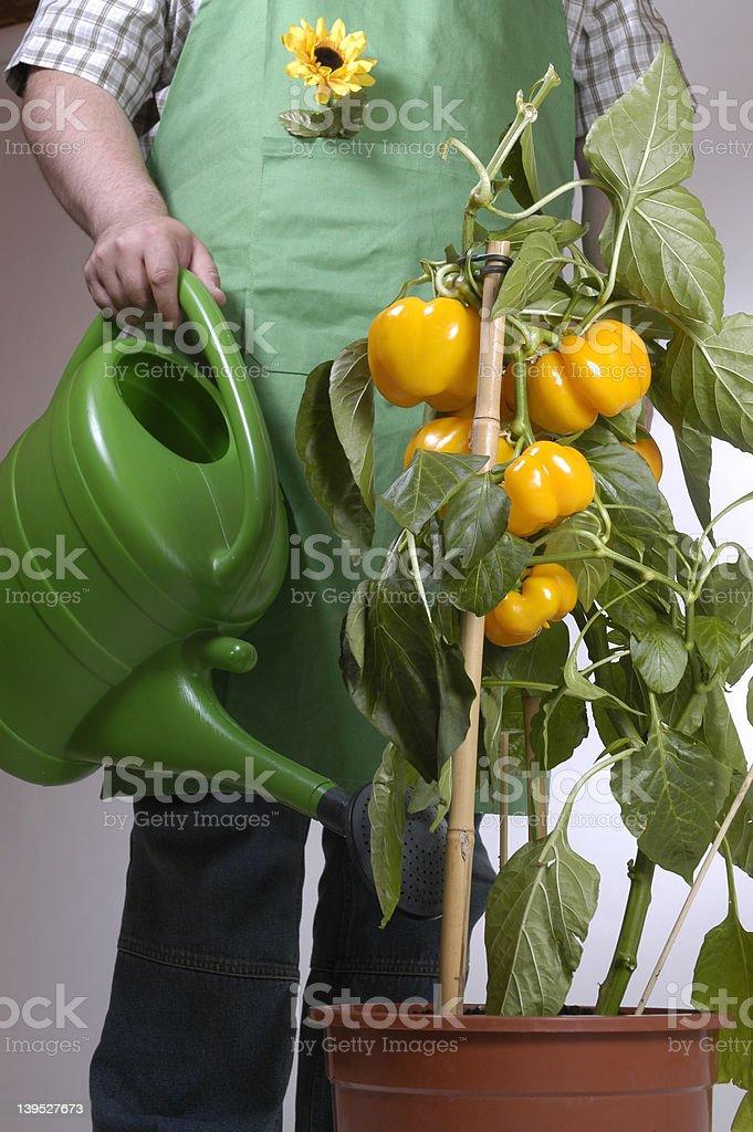 gardener: watering 2 royalty-free stock photo