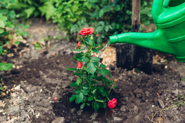 Gardener watering roses flowers with watering can after transplanting. Summer garden work. stock photo