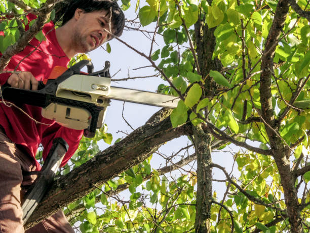 Gardener with a chainsaw cuts fruit trees sitting on top of a branch stock photo